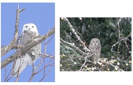 owl-trees